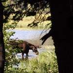 Bull Moose through the trees