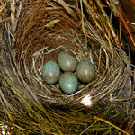 More Blackbird Eggs