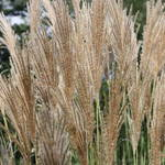 more ornamental grass