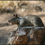 Motel Squirrel