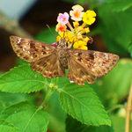 Moth & Lantana