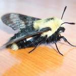 """Bee"" Moth"