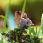 Mother Cedar Waxwing Feeding the Young