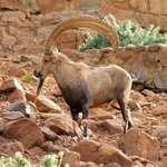 Mouintain Goat