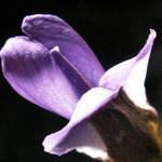 Mountain Laurel Bloom 1