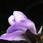 Mountain Laurel Bloom 2