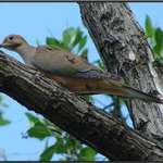 Mourning Dove on Key largo, Florida