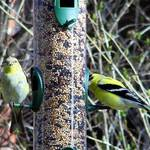 Mr. n Mrs Goldfinch
