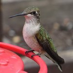 Mrs. Hummingbird