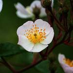 Multiflora Rose Blossom