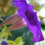 My Purple Beauty