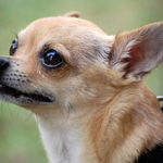 Neighbors Chihuahua
