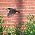 Nest Building-Starling