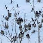 Nesting Comorants