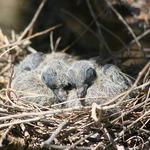 New Baby Dove