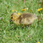 New Born Gosling