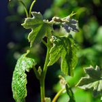 New Growth on a Grapevine