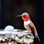 New Male Rufous Hummingbird
