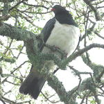 New Zealand Wood Pigeon (Kereru)