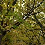 Oak Avenue canopy