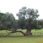 old olive tree