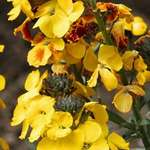 Old Fashioned Wallflowers