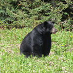 One Sleek Looking Bear
