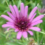 Open flower for Alandra