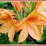Orange Azelea