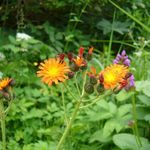 Orange hawkweed