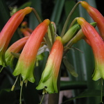 Orange Trumpet Flowers