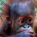 Baby Orangutan1