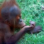 Baby Orangutan2