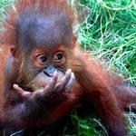 Baby Orangutan3