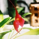 Crying Orchid