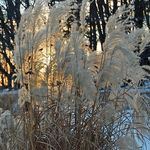 Ornamental Grass in the Sunset