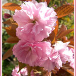 Ornamental Plum Blossom