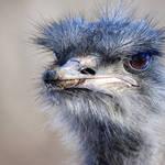 Ostrich up close
