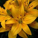 Over-Exuberant Lily