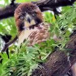 Owl or Hawk