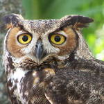 Horned Owl