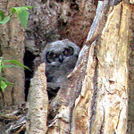 Owl nest & baby owl 2/24.04.05