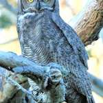 Great Horned Owl's steady Gaze, in the wild