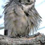 Great Horned Owl, Preening (in the wild)