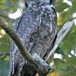 Wild Owl - Shy Pose