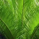 Palmfronds