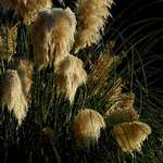 Pampas Grass