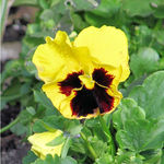 Pansy Clown