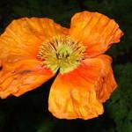 Poppy - Orange Gold