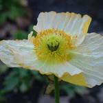 Poppy - Stonewashed Yellow
